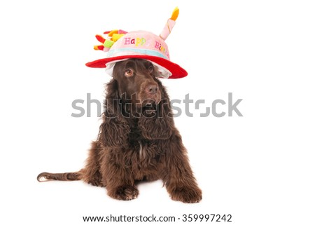 Field Spaniel with Happy Birthday hat, isolated on white