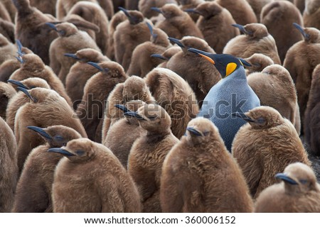 Adult King Penguin (Aptenodytes patagonicus) standing amongst a large group of nearly fully grown chicks at Volunteer Point in the Falkland Islands.  Royalty-Free Stock Photo #360006152