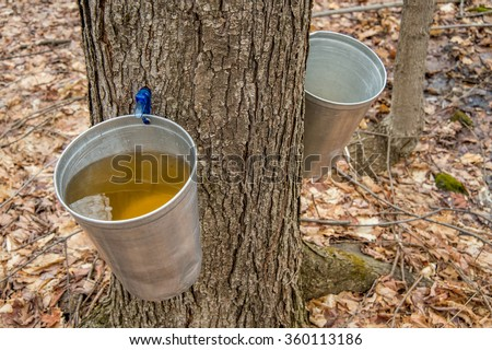 Pail used to collect sap of maple trees to produce maple syrup in Quebec. #360113186