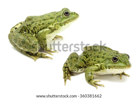 light green frog on a white background #360381662