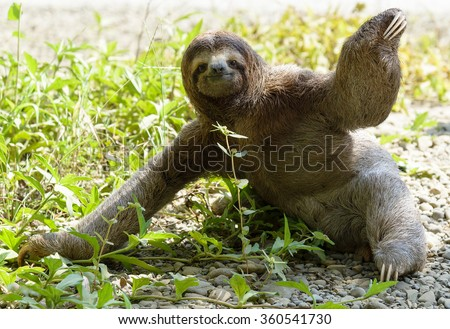 Three-toed sloth sitting on ground