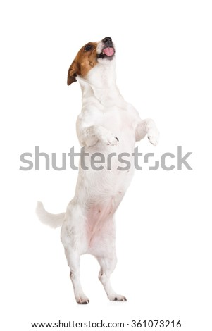 funny dog begging on white #361073216