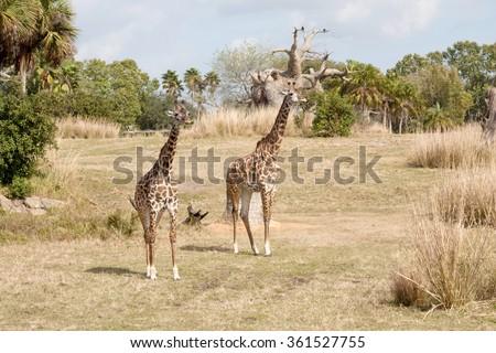 The grazed giraffes. Animal Kingdom Park Orlando, USA #361527755
