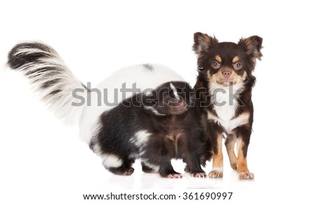 Chihuahua dog and skunk
