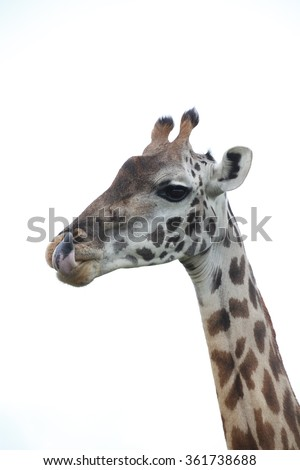 Rothschild Giraffe  #361738688