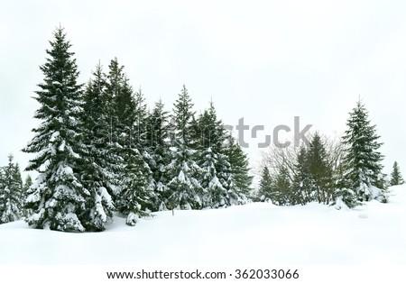 Winter fir forest after snowfall #362033066