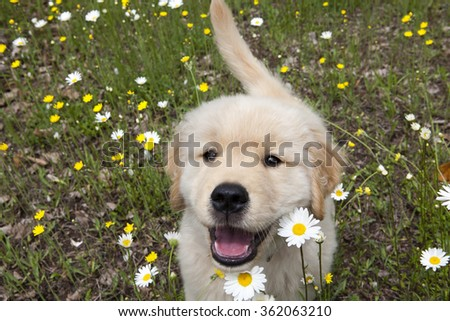 Golden retriever puppy running in wild flower field #362063210