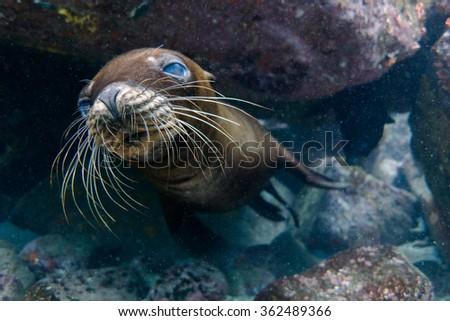 Sea lion underwater #362489366