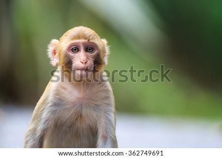 Portrait of a Baby Rhesus macaque monkey (Macaca mulatta) #362749691