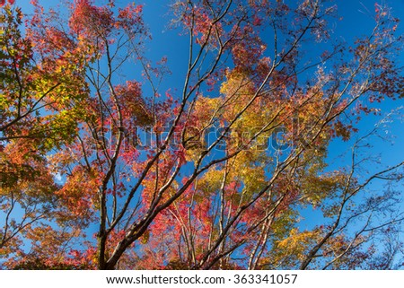 Maple tree in autumn, Japan #363341057