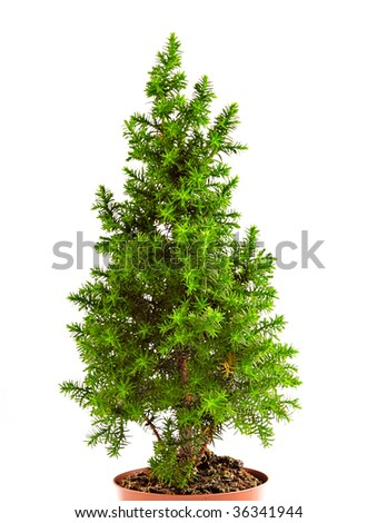 fir tree in a pot isolated on white #36341944