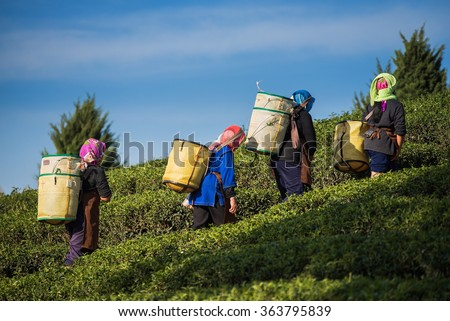 Farmers harvest Oolong tea leaves in a tea plantation on the morning time #363795839