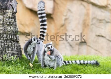 The lemurs (ring-tailed lemur) eating apple. #363809372