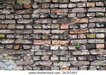 Old brick wall with small ivy plant growing out of a crack. #36391681
