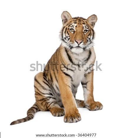 Portrait of Bengal Tiger, 1 year old, sitting in front of white background, studio shot, Panthera tigris tigris Royalty-Free Stock Photo #36404977
