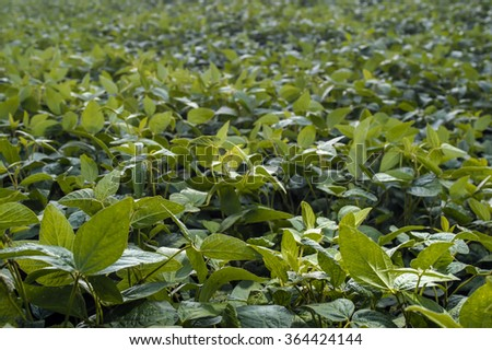 Sprouts young soybean farmer's field #364424144
