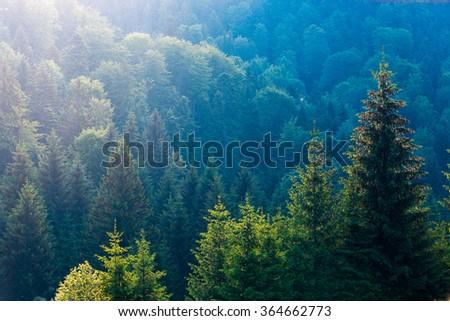 Spruce trees in the morning sunlight. Carpathian mountains. Ukraine. #364662773