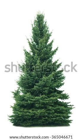 Spruce tree isolated on white background #365046671