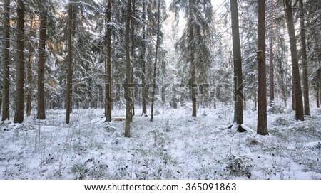 Winter wonderland in a snowy pine forest #365091863