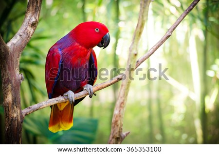 Red Eclectus Parrot #365353100