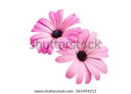 Violet Pink Osteosperumum Flower Daisy Isolated on White Background. Macro Closeup #365494211