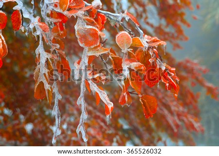 Beech branches covered with ice after snow storms in the Carpathians. #365526032