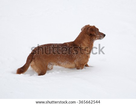 Dog dachshund in the deep snow #365662544