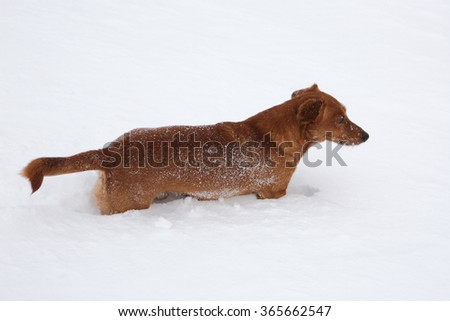 Dog dachshund in the deep snow #365662547