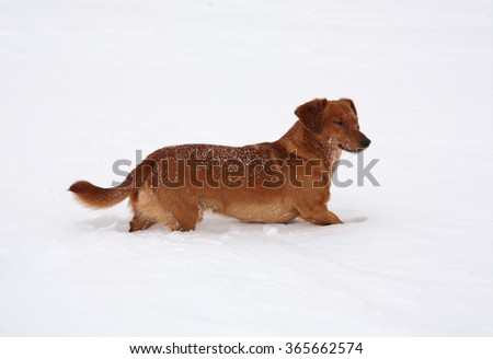Dog dachshund in the deep snow #365662574