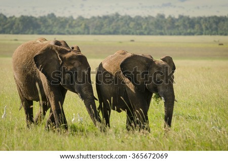 Elephants in Masai Mara, Kenya #365672069
