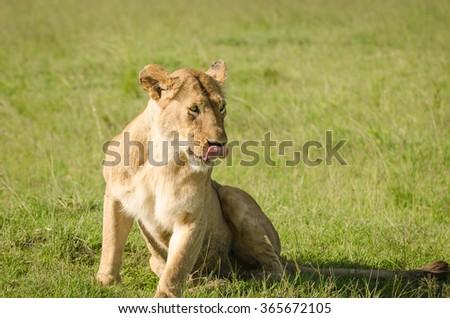 Lioness in Masai Mara, Kenya #365672105
