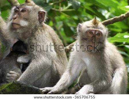 Row of monkeys in a wall, one with a nursing infant on her breast #365706755