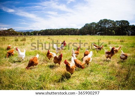A flock of chickens roam freely in a lush green paddock near Clarkefield in Victoria, Australia Royalty-Free Stock Photo #365900297