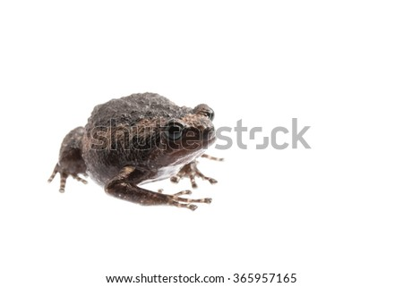 young bullfrog on white background. #365957165
