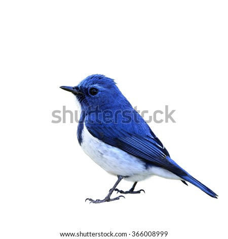 Beautiful of blue bird Ultramarine Flycatcher isolated on white background, Ficedula superciliaris #366008999