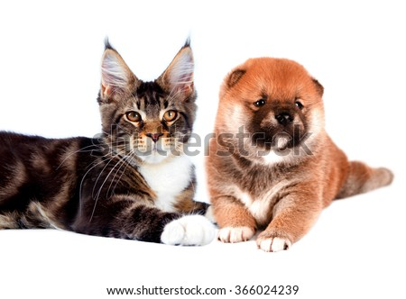 Cat and dog. Maine coon, shiba inu looking up with attention. Portrait on a white background. Isolated #366024239