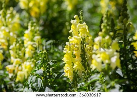 crimson antirrhinum (snapdragon) flower #366030617