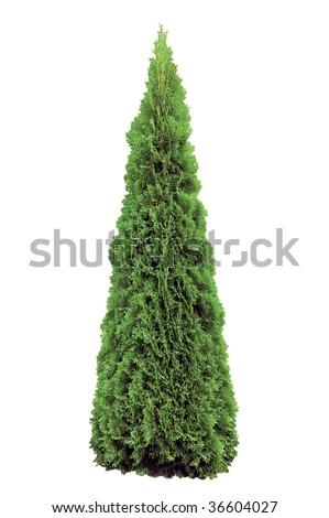 Thuja occidentalis 'Smaragd', Warm Green American Arborvitae Occidental Smaragd Wintergreen, Isolated Vertical Closeup #36604027