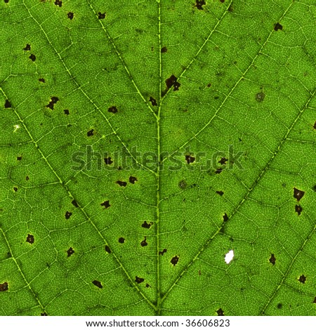 Macro close up of an old green leaf with black spots. #36606823