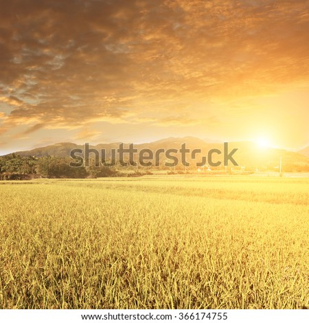 Sunbeam and the golden paddy farm in the rural. #366174755