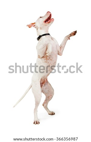 A big Pit Bull crossbreed dog standing up on his hind legs begging with a smiling and happy expression #366356987