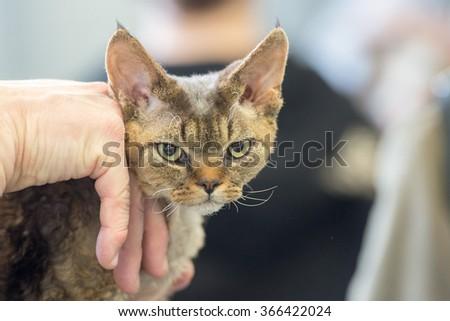 Grumpy cat looking at you close up portrait #366422024