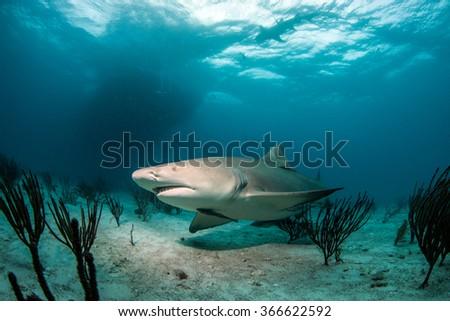 Lemon Shark #366622592