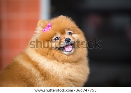Pomeranian dog. Cute Pomeranian dog with pink bow smiling and funny on wood table #366947753