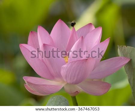 Three beautiful water lillies in full bloom #367467053