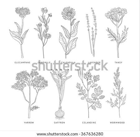 Medical Herbs Vector Set. Hannd drawn Monochrome Style #367636280