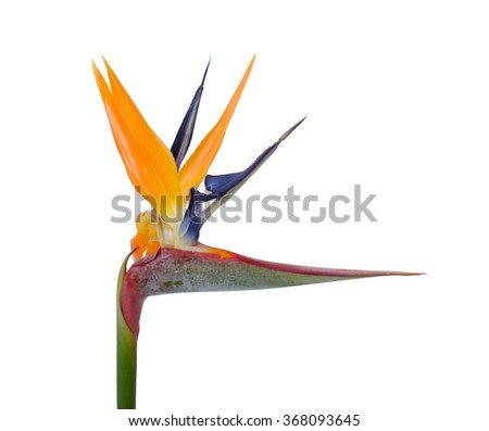 A Bird of Paradise flower isolated on a white background #368093645
