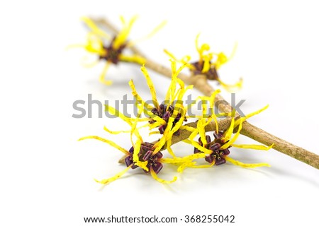 Blossoming branch of a witch hazel, medicinal plant Hamamelis, isolated with shadow on a white background, closeup with selected focus, narrow depth of field #368255042