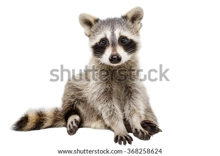 Funny raccoon sitting isolated on white background #368258624