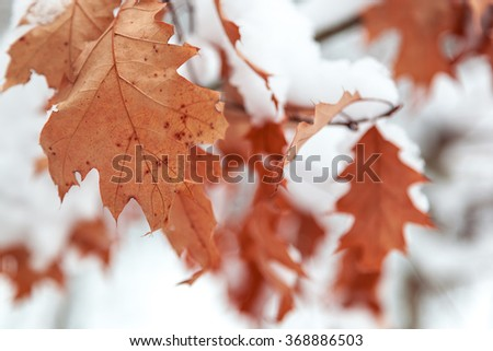Oak leaves are covered with snow. Winter theme. #368886503